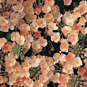 'Peaches and Cream' is a spreading, tender perennial, so is grown as an annual.  It has dark green foliage and during summer and autumn, produces clusters of orange-pink flowers that fade to yellow-pink. Verbena 'Peaches and Cream' added by Shoot)