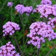 Verbena bonariensis added by Shoot)