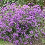 Verbena rigida added by Shoot)