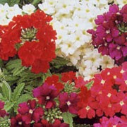 V. Sandy Series are small, compact annuals.  Flowers are arranged in flat panicles and available in red, purple, pink, sometimes with white centres. Verbena Sandy Series added by Shoot)
