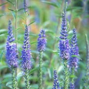 Veronica spicata added by Shoot)
