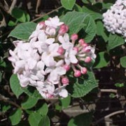 'Aurora' is a deciduous, bushy shrub with clusters of pale pink flowers emerging from red buds in spring.  Leaves are dark green having copper tints as they emerge. Viburnum carlesii 'Aurora' added by Shoot)
