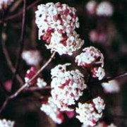 Viburnum farreri added by Shoot)