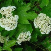 Viburnum opulus added by Shoot)
