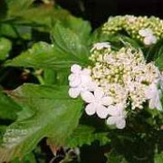 'Compactum' is a compact deciduous shrub. Leaves are palmate and prominently veined. Flat clusters of white flowers appear in spring and summer, followed by bright red berries in autumn. Viburnum opulus 'Compactum' added by Shoot)