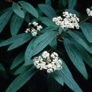 Viburnum rhytidophyllum added by Shoot)