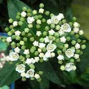 'Eve Price' is a bushy, medium evergreen shrub with broad oval, leathery leaves and, flattened clusters of  small, starry white flowers and later metallic-blue berries. Viburnum tinus 'Eve Price' added by Shoot)