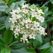 'Gwenllian' is an evergreen shrub with shiny, ovate leaves.  In late winter to spring, clusters of red buds open to white flowers, followed by blue-black berries in autumn. Viburnum tinus 'Gwenllian' added by Shoot)