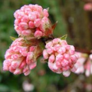 'Charles Lamont' is an upright, fast-growing, deciduous shrub.  From late autumn through to spring, clusters of fragrant, pale-pink flowers emerge from darker buds.  In spring, leaves emerge bronzed, turning dark green. Viburnum x bodnantense 'Charles Lamont' added by Shoot)