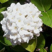 Viburnum x carlcephalum added by Shoot)