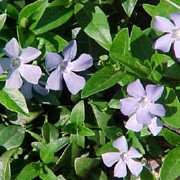 Vinca minor added by Shoot)