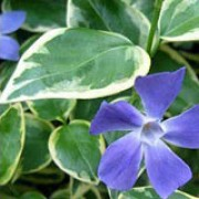 'Argenteovariegata' is a low-growing, spreading, evergreen herbaceous perennial good for ground cover, although can be invasive.  It has green leaves, edged with cream and purple flowers from spring through to autumn. Vinca minor 'Argenteovariegata' added by Shoot)
