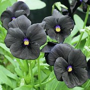'Molly Sanderson' is an evergreen perennial grown for its pansy flowers that are black with yellow eyes in spring and summer. Viola 'Molly Sanderson' added by Shoot)