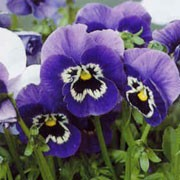 Joker Series are evergreen, perennials grown for their pansy flowers that are produced in summer in a mixture of either blue, purple or dark red with yellow. Viola Joker Series added by Shoot)