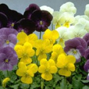 Princess Series are perennials grown for their pansy flowers that have a mix of purple, cream and yellow colours and markings in spring and summer. Viola Princess Series added by Shoot)