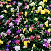 Universal Plus Series are perennials grown for their pansy flowers in winter and spring.  Flowers are mixed being blue, orange, yellow, red and white with varous markings. Viola Universal Plus Series added by Shoot)