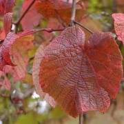 Vitis coignetiae added by Shoot)