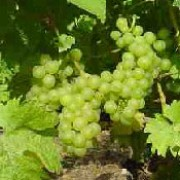 'Siegerrebe' is a fairly vigorous vine, producing edible, white grapes in autumn. Vitis vinifera 'Siegerrebe' added by Shoot)