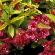 'Rubigold' is a small, decidous shrub with yello-green leaves and clusters of crimson flowers in spring and summer. Weigela 'Rubigold' added by Shoot)