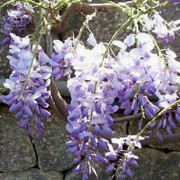 Wisteria sinensis added by Shoot)