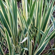 'Bright Edge' is an evergreen shrub with sword shaped leaves, dark green with yellow margins.  Large panicles of creamy flowers may be produced in summer. Yucca filamentosa 'Bright Edge' added by Shoot)