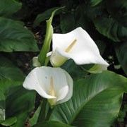 Zantedeschia aethiopica added by Shoot)