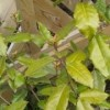 elaeagnus drooping and turning yellow.