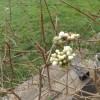 Can anyone identify this early spring flowering shrub ?