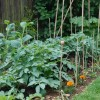The Veggie patch 2012