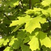 Identify a plant. Tree. Possibly a sycamore variety.