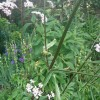 Never seen this 5 foot umbellifer before