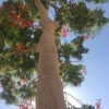 Does anyone know the name of this tree found in the Middle East
