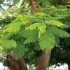 Re:Does anyone know the name of this tree found in the Middle East