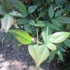 PLEASE HELP CAN YOU IDENTIFY THIS SHRUB
