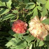 Which tree peony variety is this?
