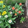 Which Zinnia breed is this?