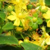 Yellow flowered bush popular with bees