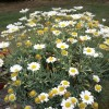 Problem with argyranthemum madeira series