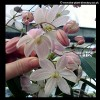 Clematis: Repens / Twinkle Bell / Armandii Appleblossom (all evergreens) (03/07/2011)