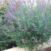 Is this Purple Loosestrife? (08/09/2011)