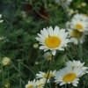 Re: Yellow daisy like plant. Any ideas what it might be?