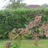 Re: Re: how to support a liquidambar (15/09/2010)