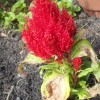 Re: Re:  celosia root rot (09/08/2011)