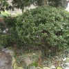 Can any one identgify this evergreen? (06/04/2011)