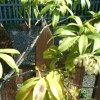 Help with my pieris (27/04/2011)