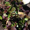 Re: Hydrangea propagation age