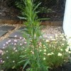 What is this and is it a weed that I can remove? (13/07/2011)