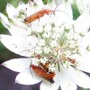Good or Bad: Common Red Soldier Beetle (19/07/2011)