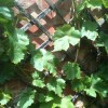 Re: My Vitis Crimson seedless is in it's 3rd year but still no fruit, am I doing something wrong? (23/06/2012)