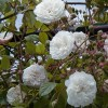 Re: Evergreen Roses?? (19/03/2013)
